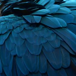 Tableau Plume Bleue
